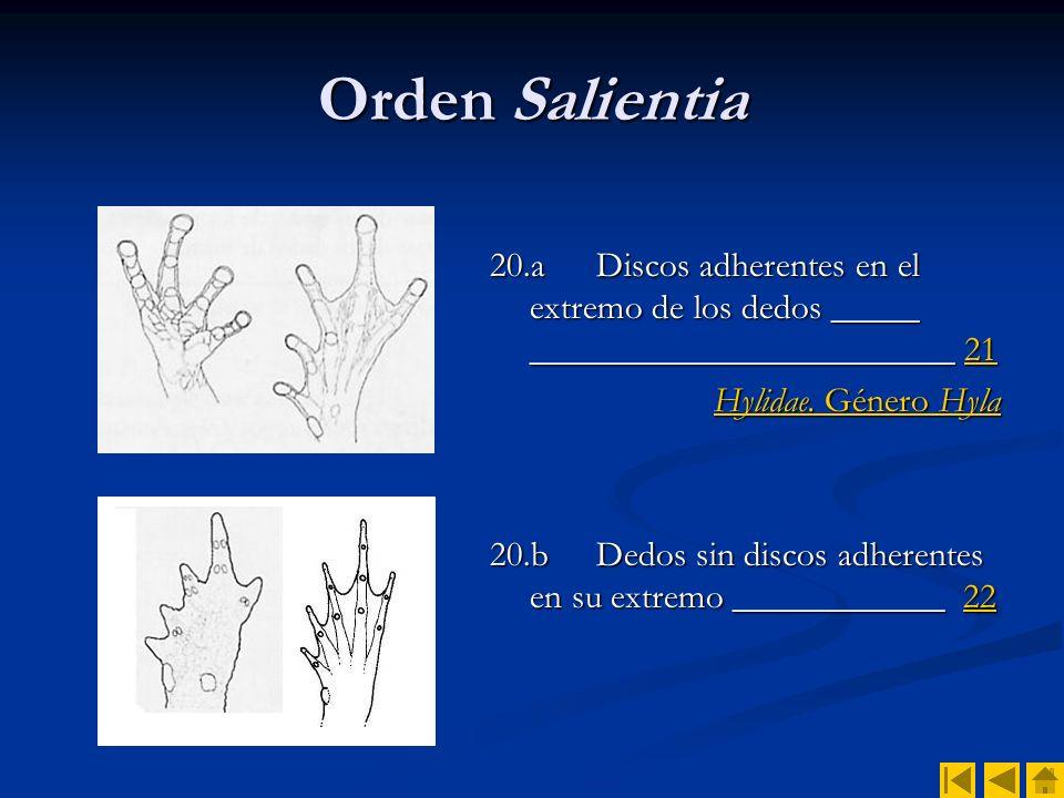 Orden Salientia 20.a Discos adherentes en el extremo de los dedos _____ ________________________ 21.