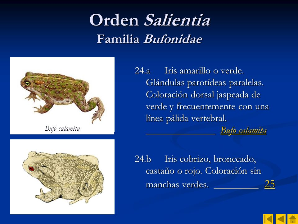 Orden Salientia Familia Bufonidae