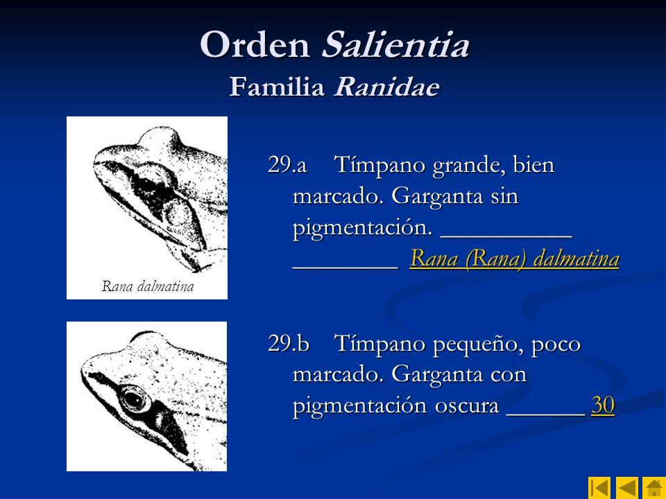 Orden Salientia Familia Ranidae