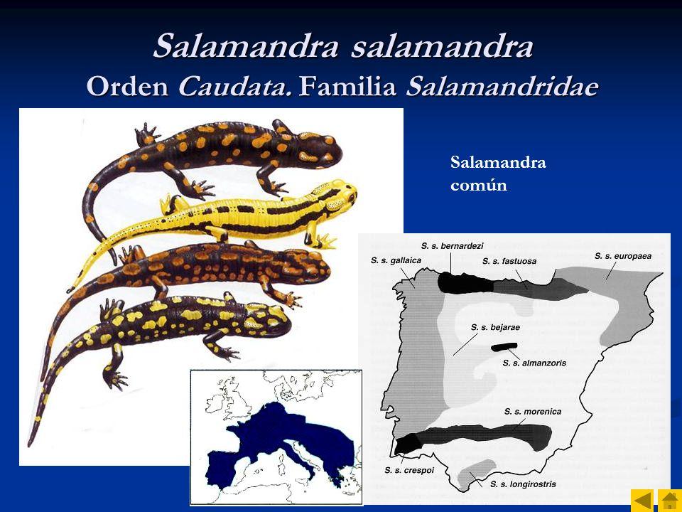 Salamandra salamandra Orden Caudata. Familia Salamandridae