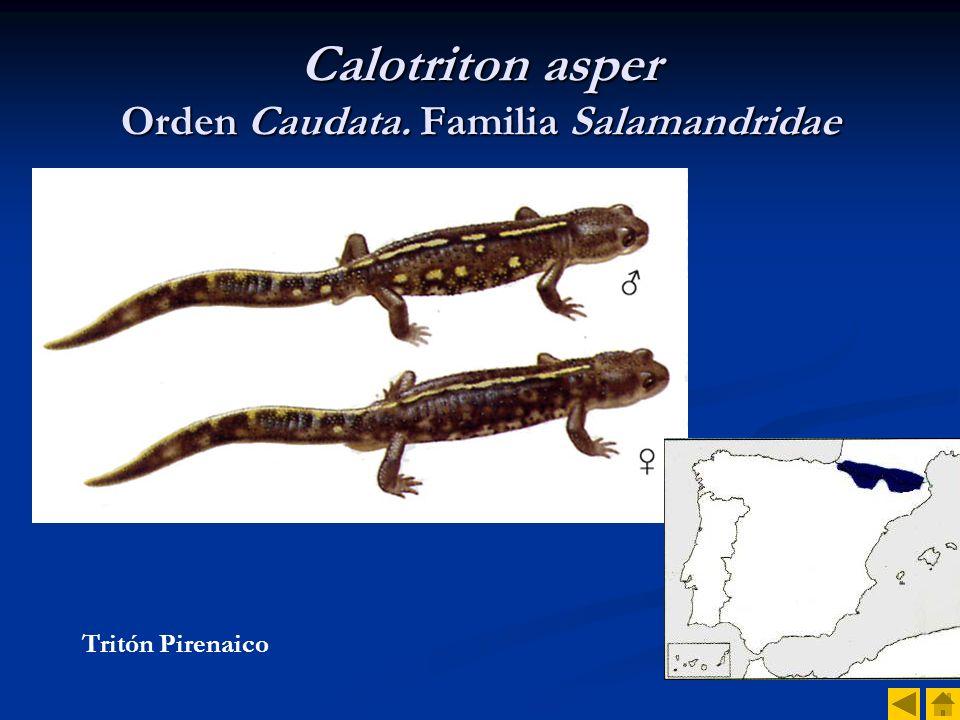 Calotriton asper Orden Caudata. Familia Salamandridae