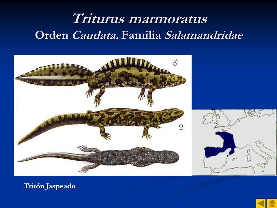 Triturus marmoratus Orden Caudata. Familia Salamandridae