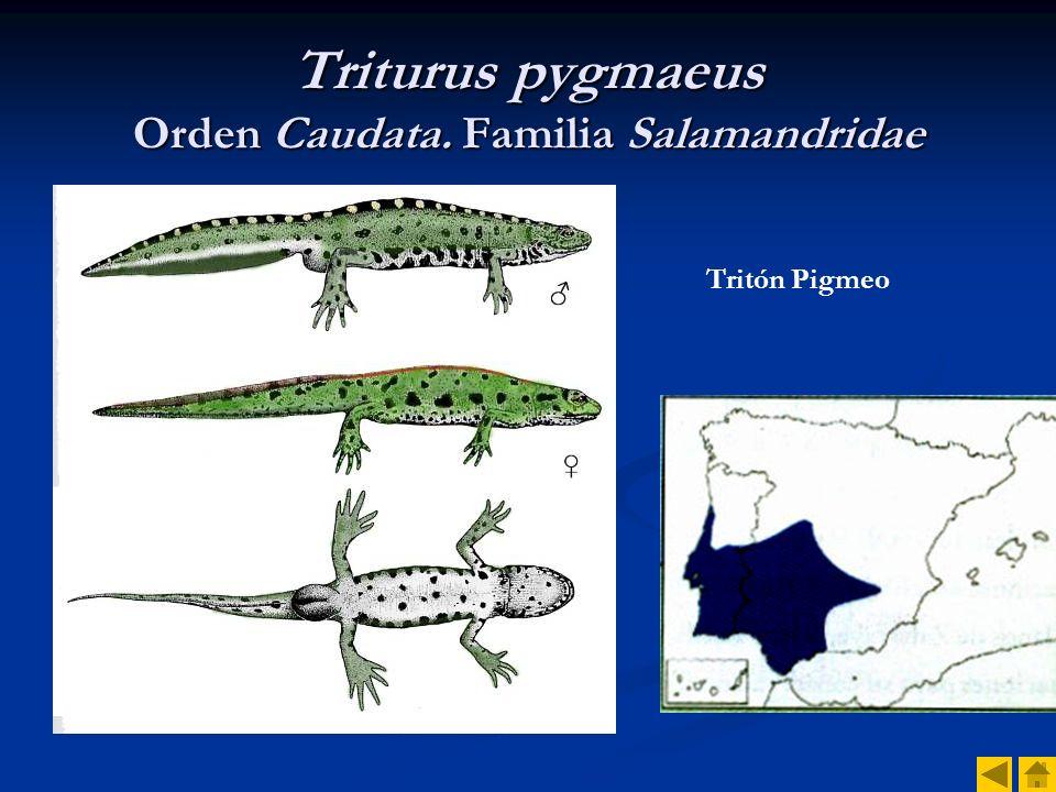 Triturus pygmaeus Orden Caudata. Familia Salamandridae