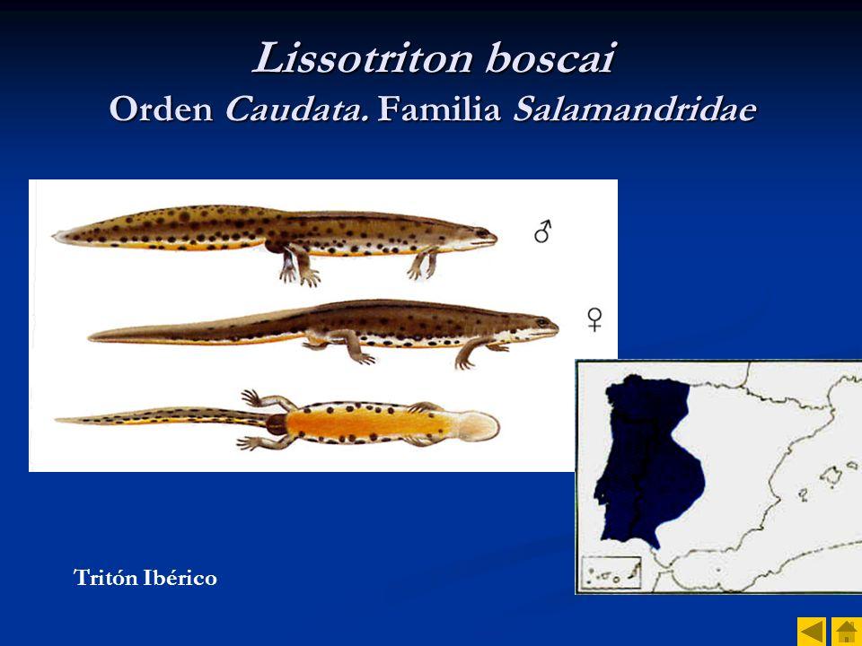 Lissotriton boscai Orden Caudata. Familia Salamandridae