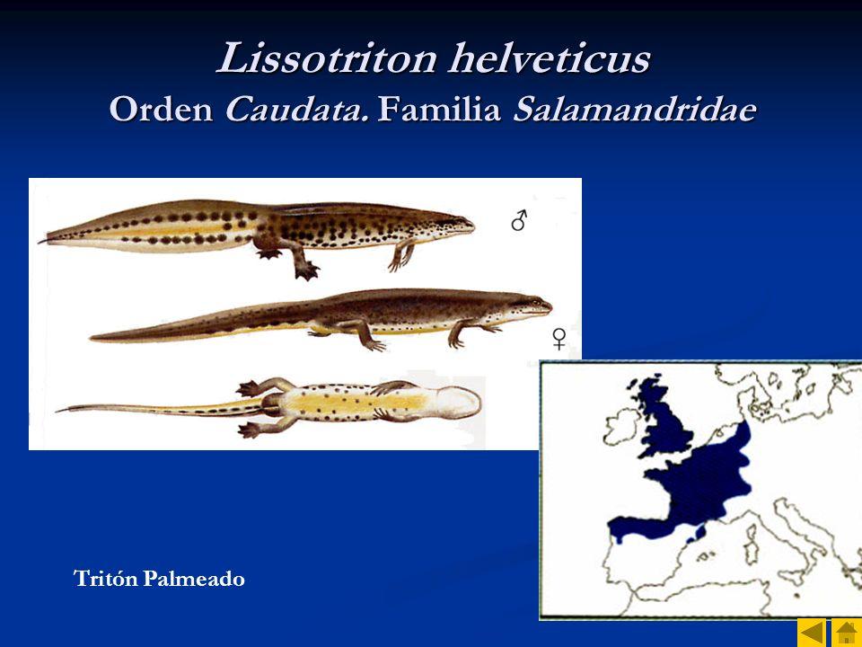 Lissotriton helveticus Orden Caudata. Familia Salamandridae