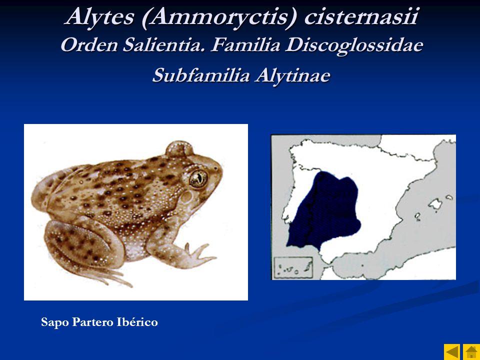 Alytes (Ammoryctis) cisternasii Orden Salientia
