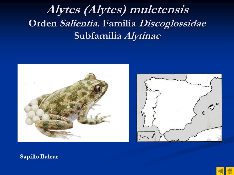 Alytes (Alytes) muletensis Orden Salientia