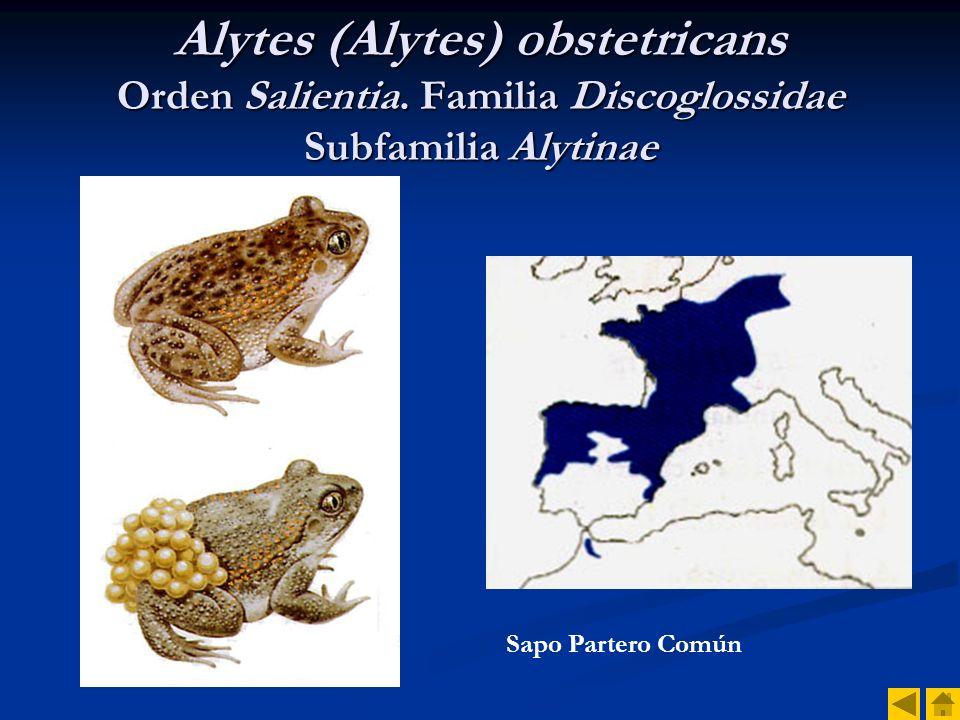 Alytes (Alytes) obstetricans Orden Salientia