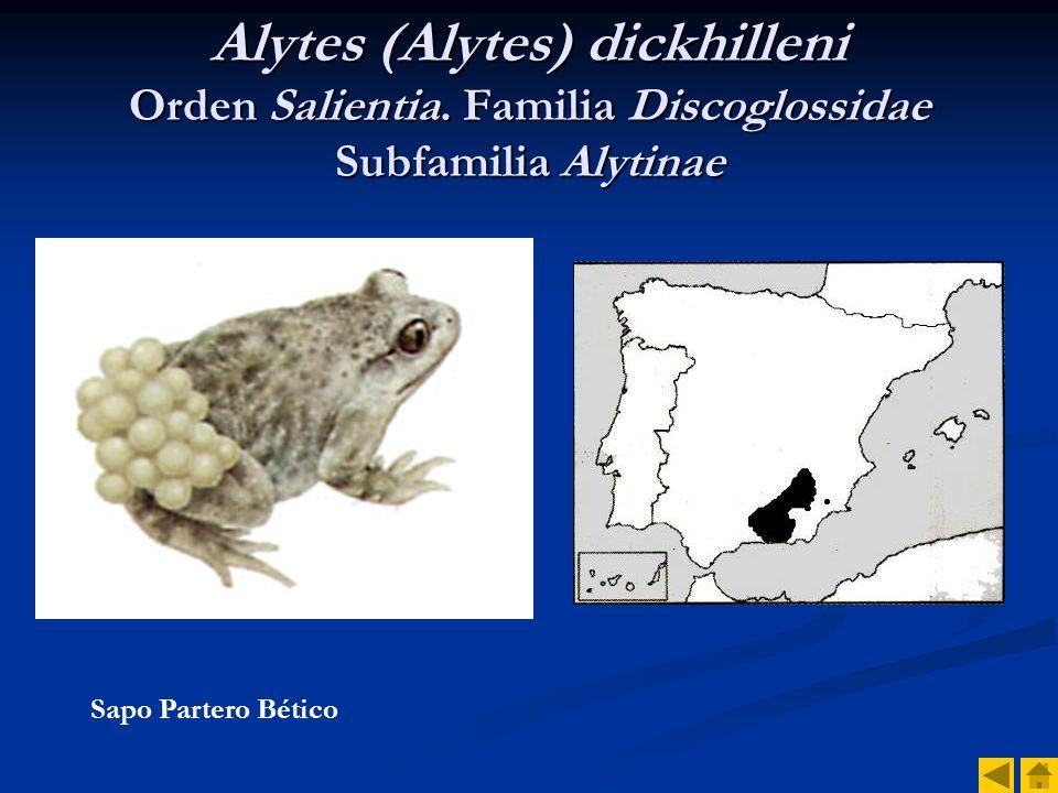 Alytes (Alytes) dickhilleni Orden Salientia