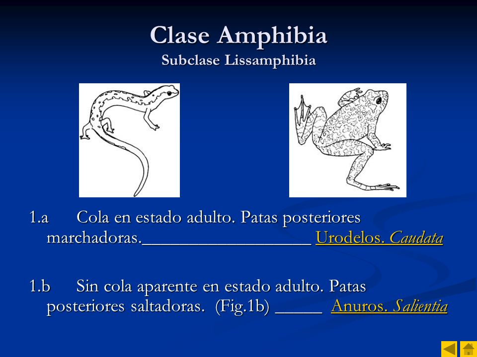 Clase Amphibia Subclase Lissamphibia