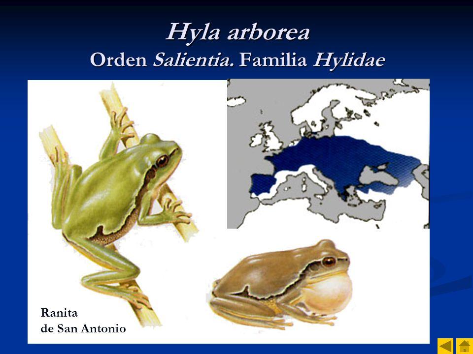 Hyla arborea Orden Salientia. Familia Hylidae
