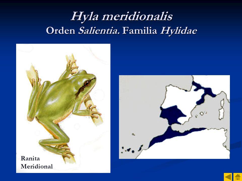 Hyla meridionalis Orden Salientia. Familia Hylidae
