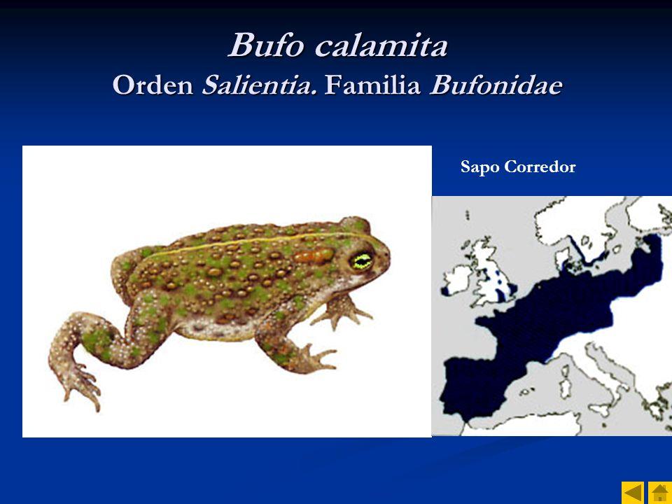 Bufo calamita Orden Salientia. Familia Bufonidae