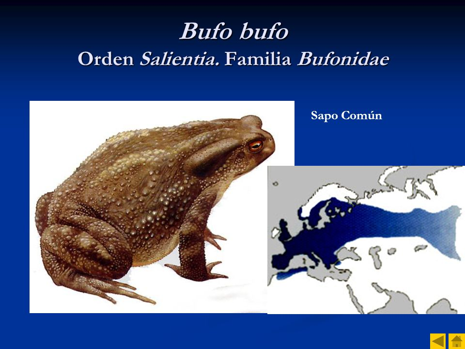 Bufo bufo Orden Salientia. Familia Bufonidae
