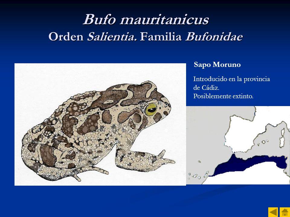 Bufo mauritanicus Orden Salientia. Familia Bufonidae