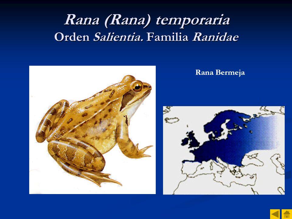 Rana (Rana) temporaria Orden Salientia. Familia Ranidae