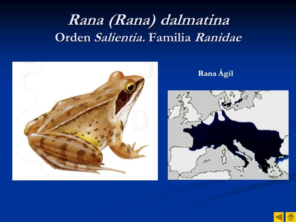 Rana (Rana) dalmatina Orden Salientia. Familia Ranidae
