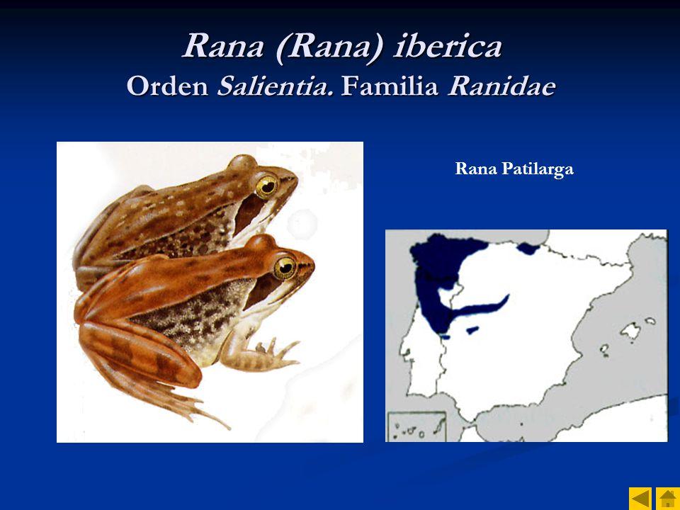 Rana (Rana) iberica Orden Salientia. Familia Ranidae