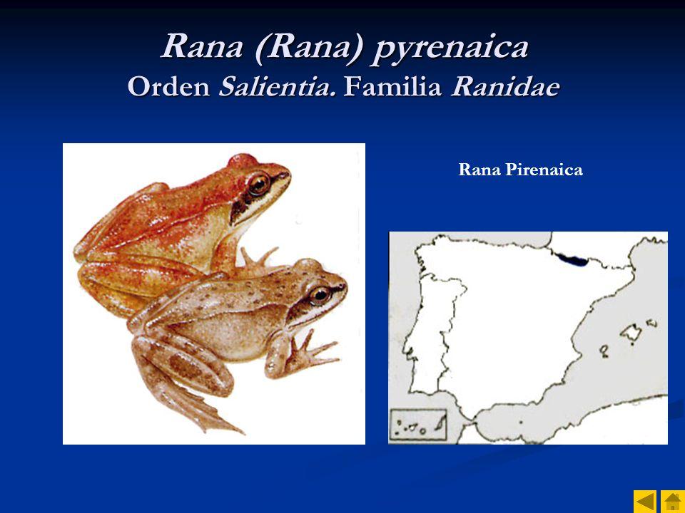 Rana (Rana) pyrenaica Orden Salientia. Familia Ranidae