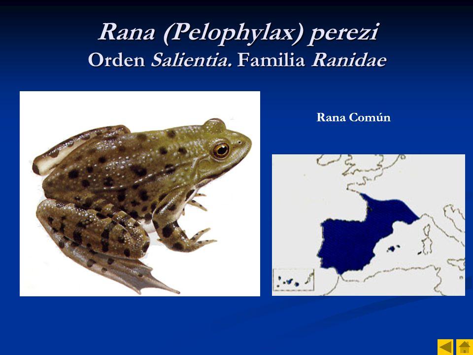 Rana (Pelophylax) perezi Orden Salientia. Familia Ranidae