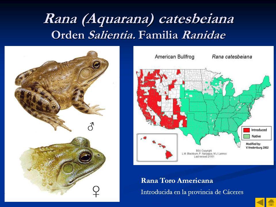 Rana (Aquarana) catesbeiana Orden Salientia. Familia Ranidae