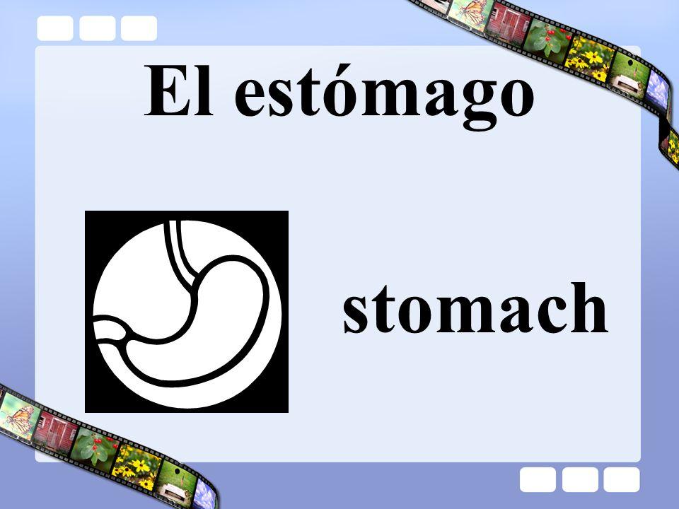 El estómago stomach