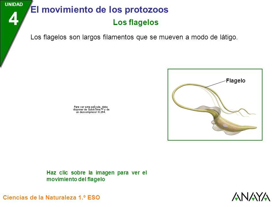 Los flagelos Los flagelos son largos filamentos que se mueven a modo de látigo. Flagelo.
