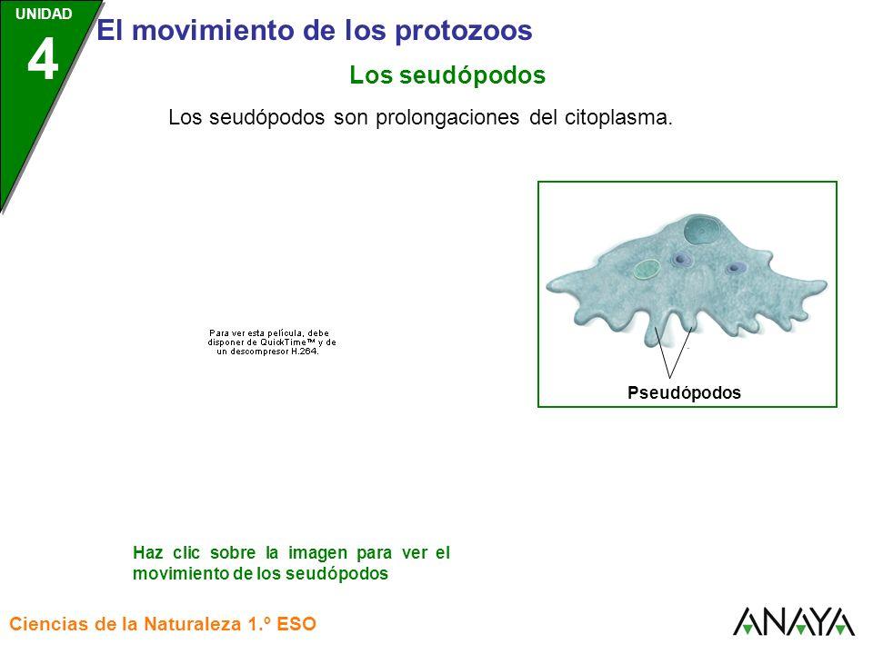 Los seudópodos Los seudópodos son prolongaciones del citoplasma.