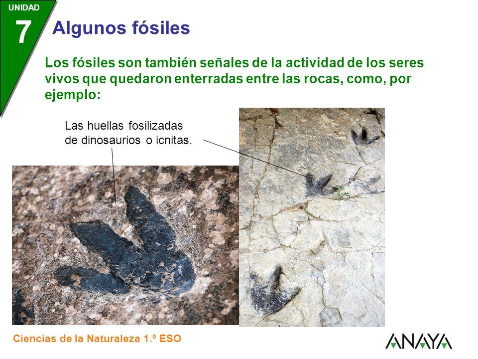 Los fósiles son también señales de la actividad de los seres vivos que quedaron enterradas entre las rocas, como, por ejemplo: