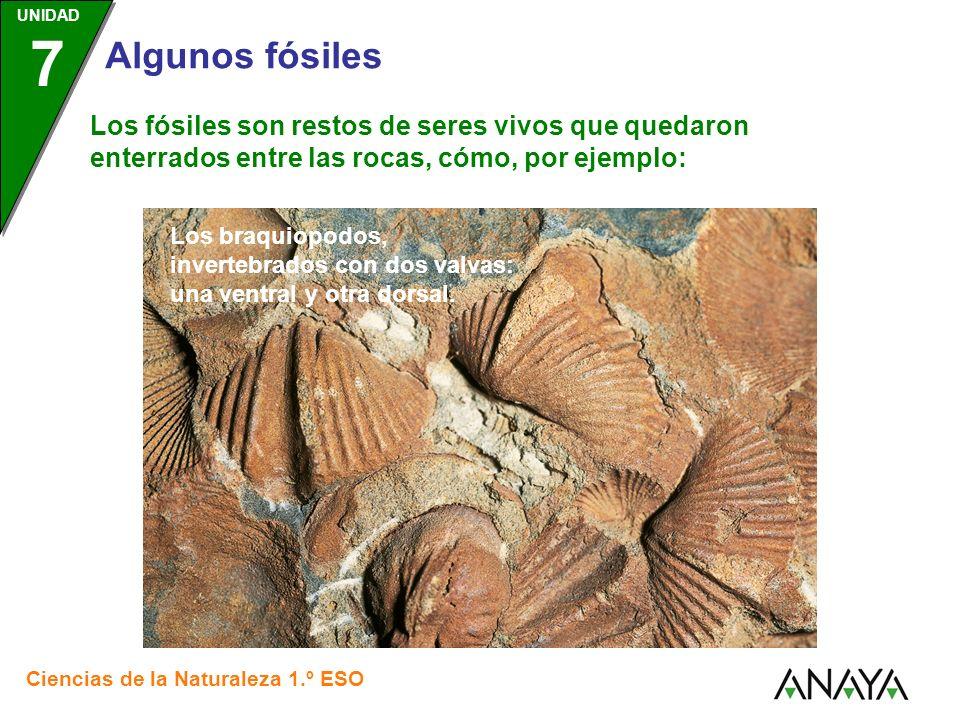 Los fósiles son restos de seres vivos que quedaron enterrados entre las rocas, cómo, por ejemplo: