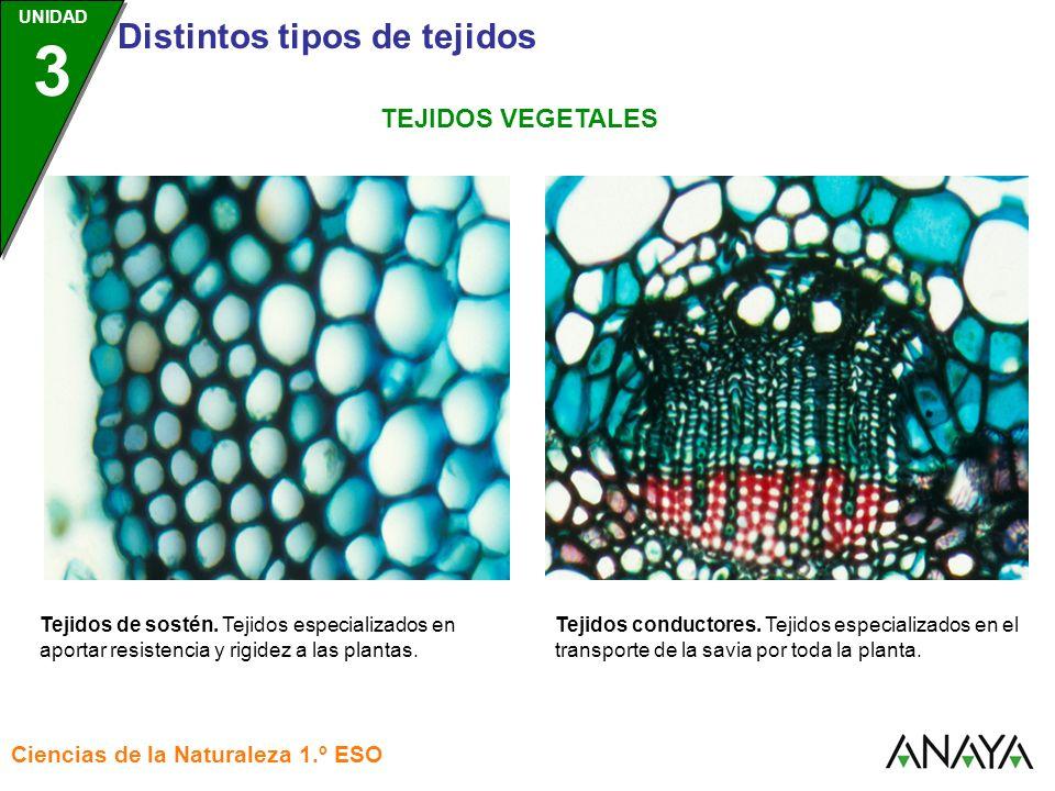 TEJIDOS VEGETALES Tejidos de sostén. Tejidos especializados en aportar resistencia y rigidez a las plantas.