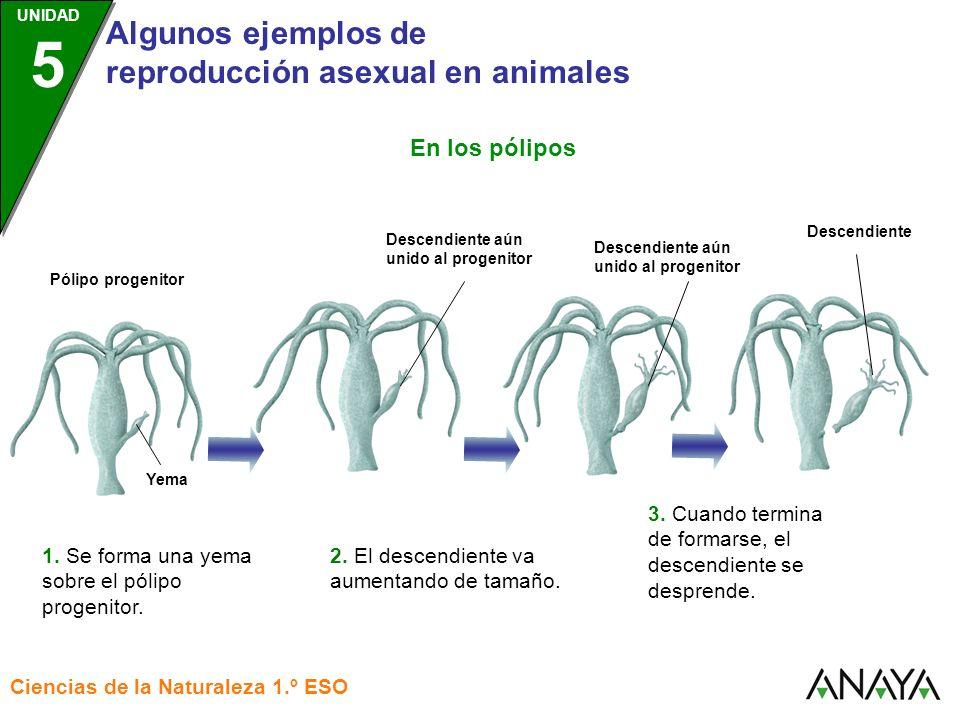 En los pólipos 3. Cuando termina de formarse, el descendiente se desprende. Descendiente. 2. El descendiente va aumentando de tamaño.
