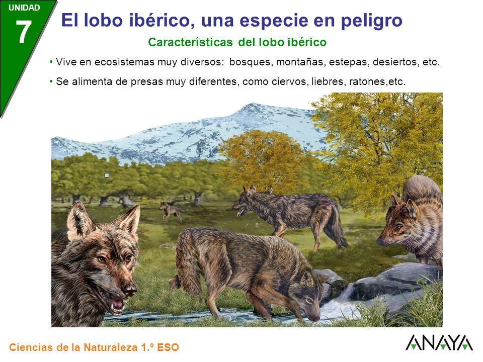 Características del lobo ibérico