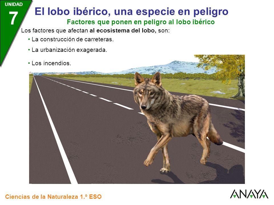 Factores que ponen en peligro al lobo ibérico