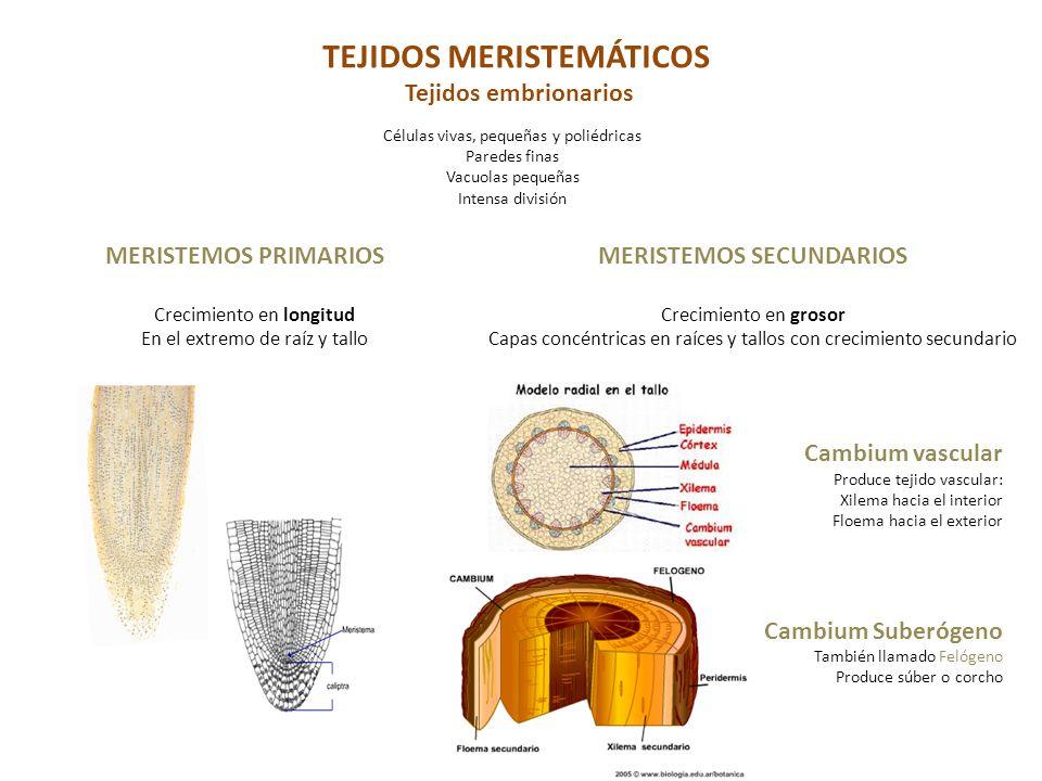 Histolog a vegetal ppt descargar for Tejidos y novedades paredes