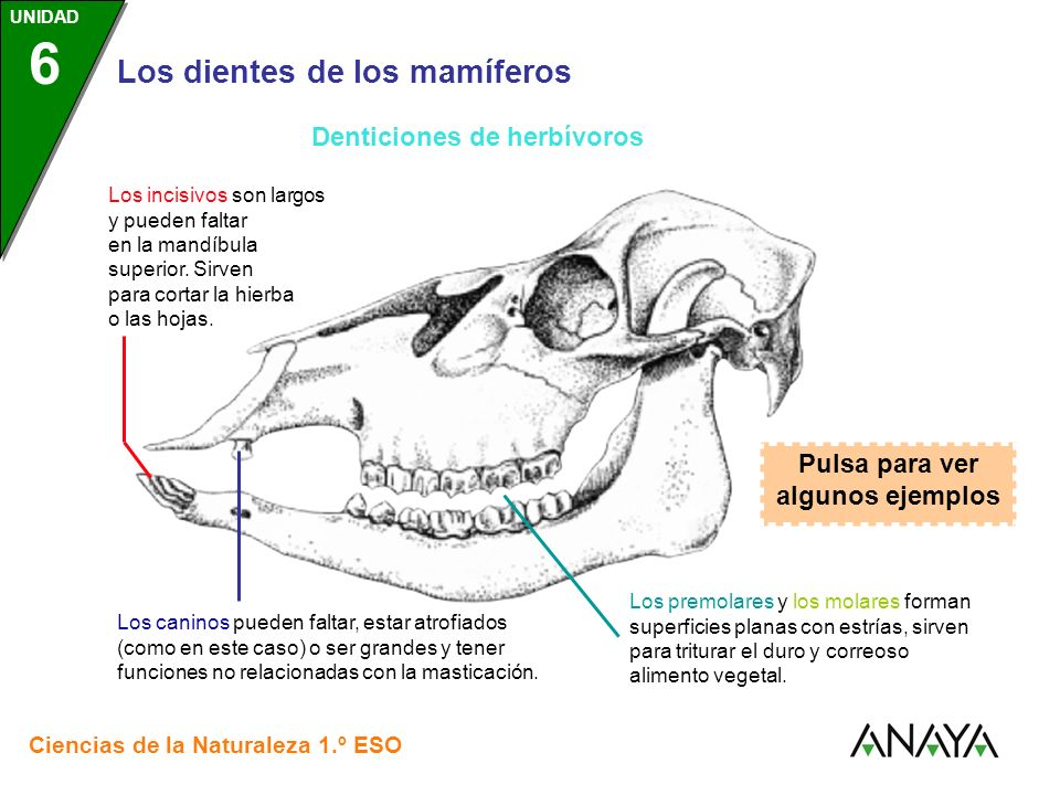 Denticiones de herbívoros Pulsa para ver algunos ejemplos