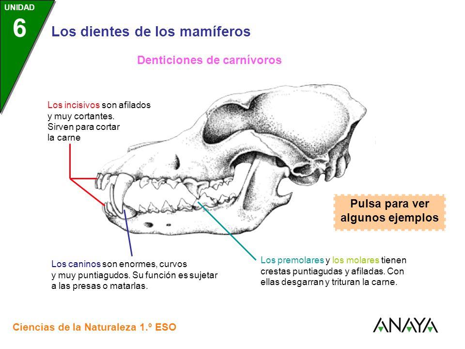 Denticiones de carnívoros Pulsa para ver algunos ejemplos
