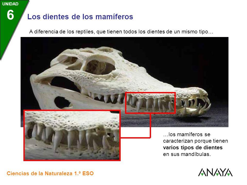 A diferencia de los reptiles, que tienen todos los dientes de un mismo tipo…