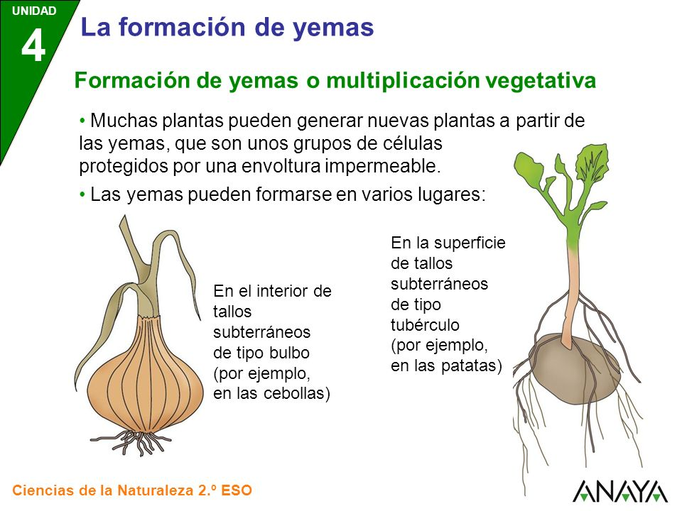 La formación de yemas Formación de yemas o multiplicación vegetativa