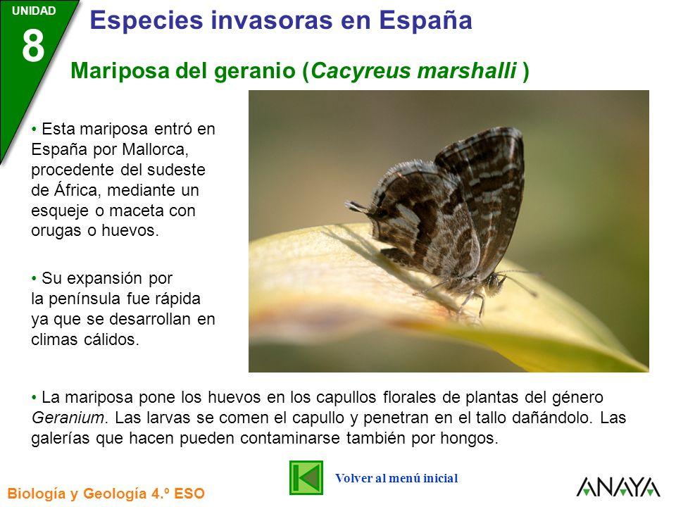 Mariposa del geranio (Cacyreus marshalli )