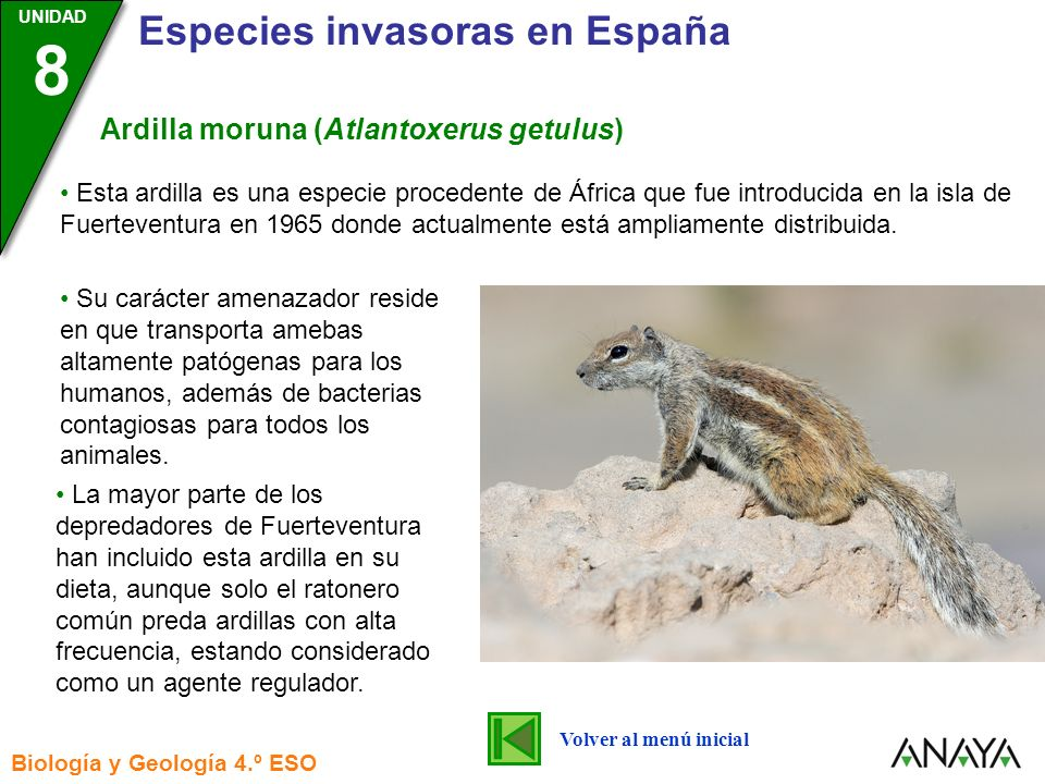 Ardilla moruna (Atlantoxerus getulus)