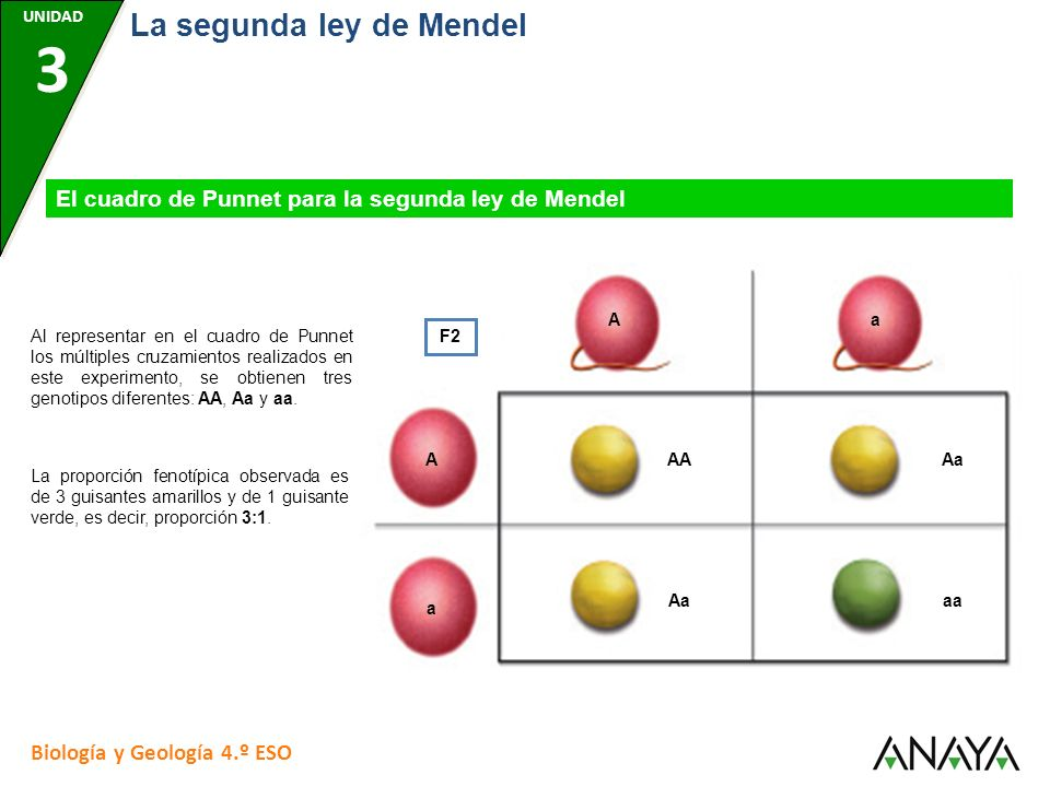 La segunda ley de Mendel