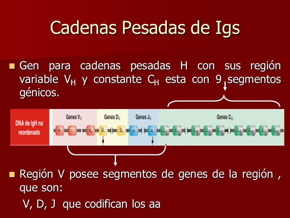 Cadenas Pesadas de Igs Gen para cadenas pesadas H con sus región variable VH y constante CH esta con 9 segmentos génicos.