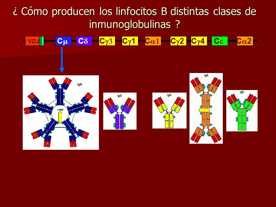 ¿ Cómo producen los linfocitos B distintas clases de inmunoglobulinas