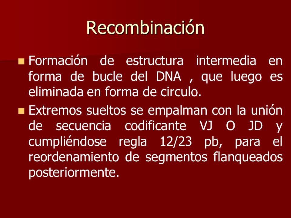 RecombinaciónFormación de estructura intermedia en forma de bucle del DNA , que luego es eliminada en forma de circulo.