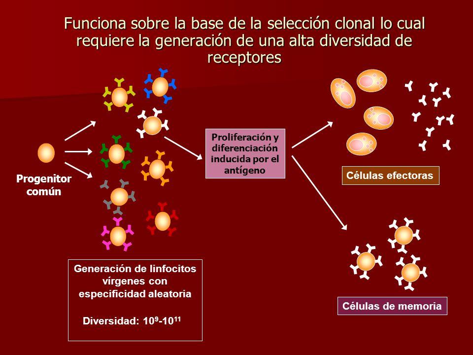 Proliferación y diferenciación inducida por el antígeno