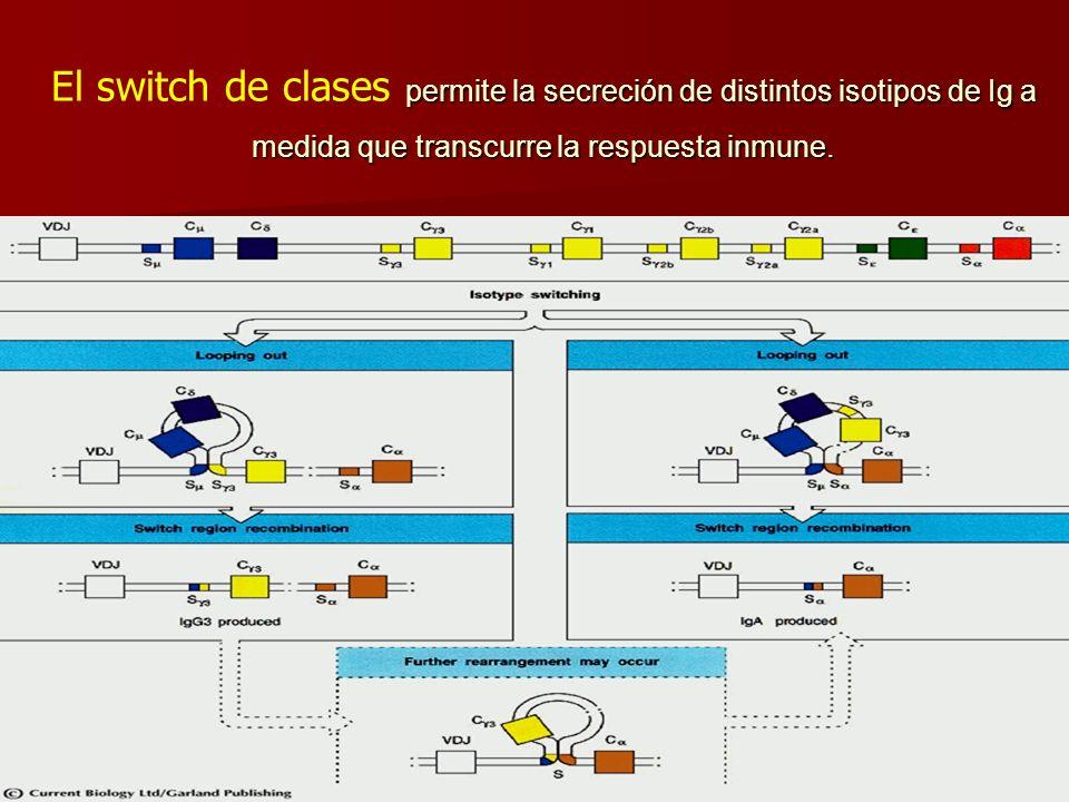 El switch de clases permite la secreción de distintos isotipos de Ig a medida que transcurre la respuesta inmune.
