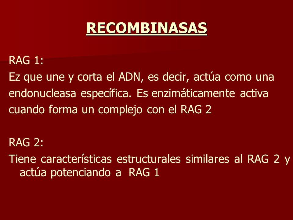 RECOMBINASAS RAG 1: Ez que une y corta el ADN, es decir, actúa como una. endonucleasa específica. Es enzimáticamente activa.