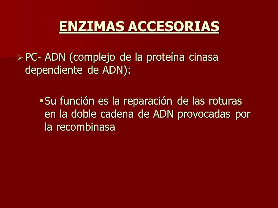 ENZIMAS ACCESORIAS PC- ADN (complejo de la proteína cinasa dependiente de ADN):
