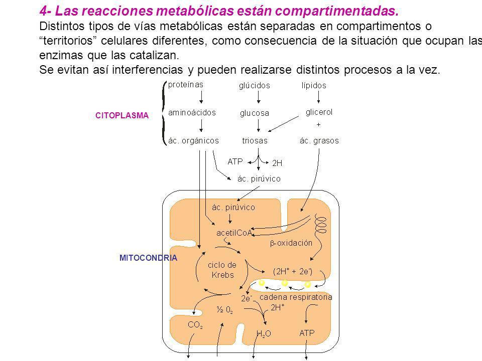 4- Las reacciones metabólicas están compartimentadas.